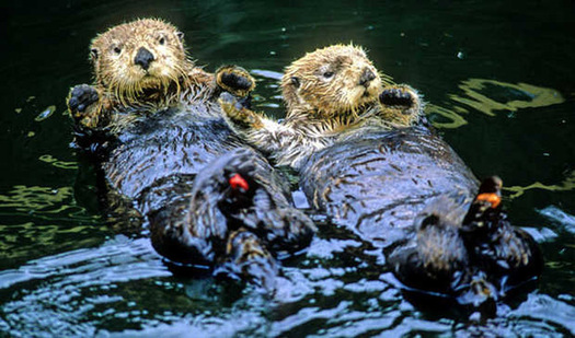 Oil Spill on Sea Otters