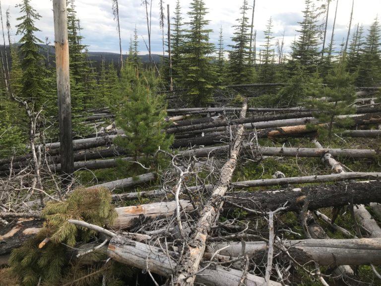 Dead pines stacked like matchsticks across Bonaparte Provincial Park